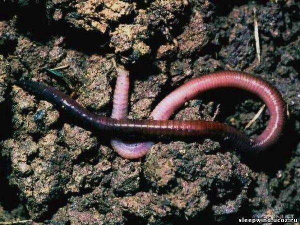 Почему дождевые черви вылезают наружу после дождя?